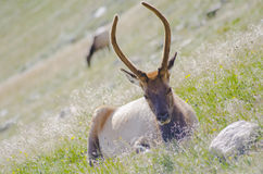 Elk on Trail Ridge Road in Rocky Mountain National Park Royalty Free Stock Photo