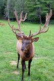 Elk Up Close Stock Image