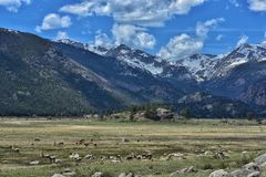 Elk viewing at the Rocky Mountain National Park. Herds of elk grazing and sunbathing at the base of the Snowcapped mountains Royalty Free Stock Photography