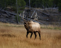 Elk VII Royalty Free Stock Photography