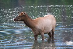 An elk wadding in the water going for a drink.  Royalty Free Stock Image