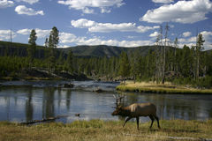 Elk Walking Along A River Royalty Free Stock Images