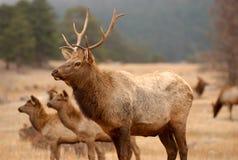Elk Walking In The Wild. Stock Photo