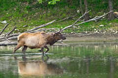 An elk walking into water Royalty Free Stock Images
