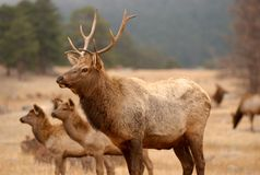 Elk walking in the wild. A side portrait of a male elk in the rocky mountains of Colorado stock photo