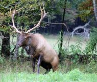 Elk or wapiti Stock Images