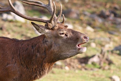 Elk wapiti bull Royalty Free Stock Photos