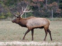Elk wapiti bull antlers Royalty Free Stock Images