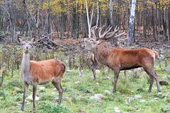 Elk wapiti bull antlers Stock Photography