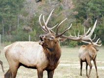 Elk wapiti bull antlers. Animals wildlife bugling Royalty Free Stock Images