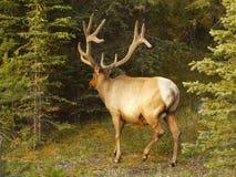 Elk Wapiti Bull Antlers Stock Images