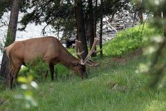 Elk (Wapiti), Cervus canadensis Royalty Free Stock Images