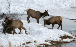 Elk or wapiti Cervus canadensis on the Wyoming-Colorado Border Winter. A young wapiti buck and two does feeding along a tributary of the North Platte River.  Mid Royalty Free Stock Photo