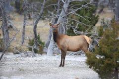 Elk (Wapiti), Cervus Elephas,Mammoth Springs In Yellowstone National Park,USA Stock Image
