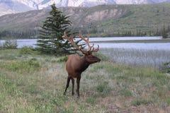 Elk or Wapiti Stock Image