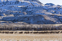 Elk herd wildlife moving valley mountains Stock Images