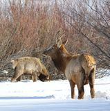 Elk or Wapiti in Winter on the Colorado-Wyoming Border. Elk or wapiti Cervus canadensis in mid-winter feeding on the Colorado-Wyoming border.  A young buck and a Royalty Free Stock Photography