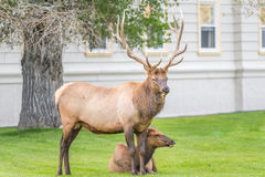 Elk watching over cow in village of Mammoth Hot Springs Royalty Free Stock Photos