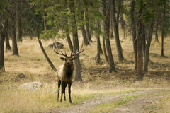 Elk in the Wilderness. Beautiful elk in the wilderness in fall Royalty Free Stock Images