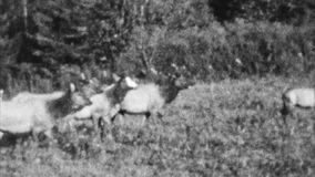 Elk in the Wilderness (Archival 1940s) stock footage