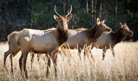 Elk Wildlife Photography in Great Smoky Mountains. National Park Cataloochee Valley Royalty Free Stock Photos