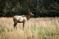 Elk Wildlife Photography in Great Smoky Mountains Royalty Free Stock Photo