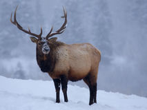 Elk In Winter Stock Photos