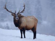 Elk In Winter stock photos