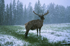 Elk in Winter Stock Images