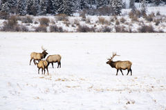 Elk in Winter. Bull elk in winter at Rocky Mountain National Park Royalty Free Stock Image