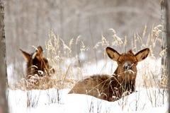 Elk in Winter Canada Royalty Free Stock Image