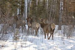 Elk in Winter Stock Images
