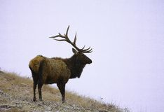 Elk in a winter storm royalty free stock images