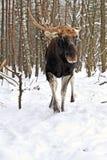 Elk winter Royalty Free Stock Photos