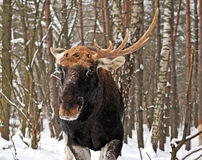 Elk winter Stock Photography