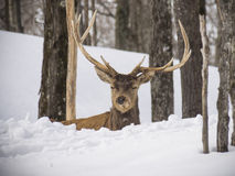 Elk in the woods Royalty Free Stock Photo