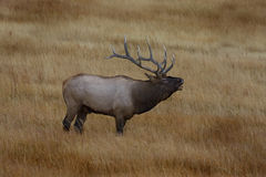 Elk XII Royalty Free Stock Image