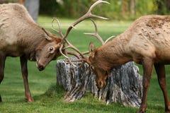 Elk in Yellowstone Stock Image