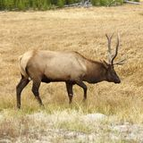 Elk in Yellowstone royalty free stock photos