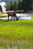 Elk in yellowstone. Eating elk by river in yellowstone national park, 200605 Stock Photo