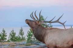 Elk in Yellowstone National Park. Large Elk on the shore of Yellowstone Lake Stock Image