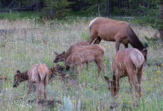 Elk in Yellowstone National Park Royalty Free Stock Photography