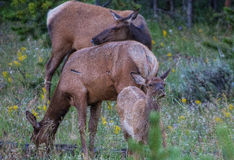 Elk in Yellowstone National Park Stock Photos