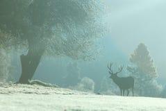 Elk in Yosemite National Park, CA Royalty Free Stock Photo