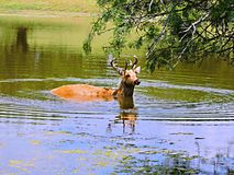 Elk. This young elk takes a dip in the nice cool water on a hot summer day stock photo