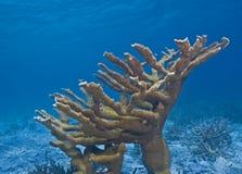 Elkhorn coral Royalty Free Stock Photos