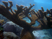 Elkhorn coral. (Acropora palmata) is considered to be one of the most important reef-building corals in the Caribbean royalty free stock photography