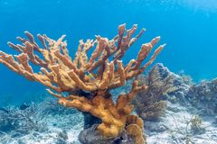 Elkhorn coral Acropora palmata. Is considered to be one of the most important reef-building corals in the Caribbean stock photography