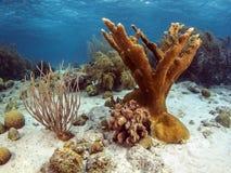Elkhorn coral (Acropora palmata) Stock Photography