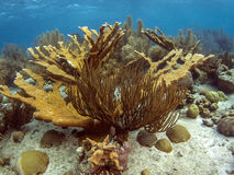 Elkhorn coral (Acropora palmata). Is considered to be one of the most important reef-building corals in the Caribbean stock image